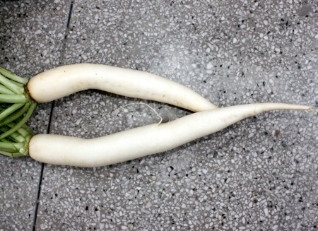 fleshy: Daikon, White radish, mooli, Raphanus sativus, root vegetable with long lobed leaves and white fleshy root up to 40 cm long, used as salad, cooked as vegetable