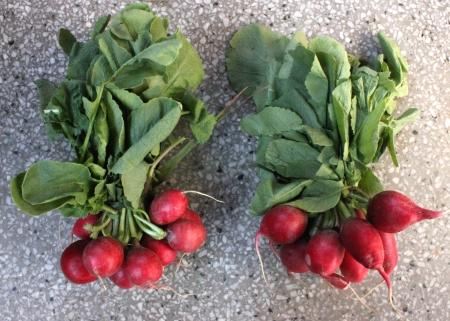 globose: Red radish, European radish, mooli, Raphanus sativus, root vegetable with small lobed leaves and red small globose to oval roots  flesh white inside, used as salad
