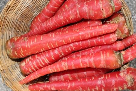 charnu: racine de carotte, Daucus carota, Gajjar en Inde, racines charnues coniques sont riches en b�ta-carot�ne, antioxydants et de min�raux utilis�s comme salade et de l�gumes cuits ainsi que halwa doux