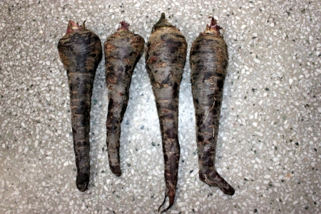 Black carrot, Daucus carota, the fleshy roots are sliced and used in preparation of cooling drink Kanji in India along with spices