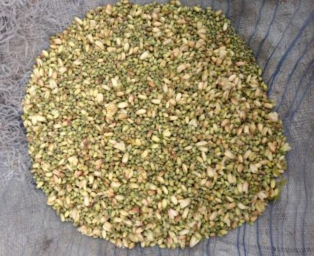 ben-oil tree flowers, Moringa oleifera, sahanjana phool, murungai, the flower buds are cooked as vegetable, pods known as drumsticks added to sambar in India Stock Photo - 24643082