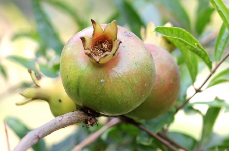 punica granatum: Pomegranate, Punica granatum, anar, nearly globose fruit with crown at tip, fleshy seeds are eaten raw, dried and powdered seeds as spice and condiment