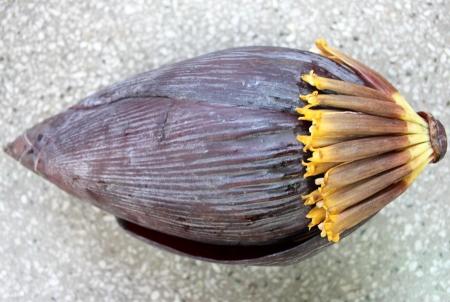 charnu: Banana inflorescence m�le, le plantain, la banane plantain fran�ais, Kela, Musa x paradisiaca, inflorescence terminale rouge avec de grandes bract�es rouges charnus renfermant deux ram� fleurs est cuit comme un l�gume