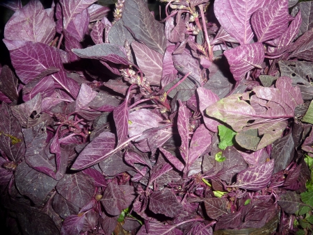 amaranthus: Red amaranth, blood amaranth, Indian spinach, lal chulai, Amaranthus cruentus, Annual herb with red ovate to ovate-elliptic leaves, used as vegetable  Stock Photo