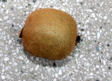 actinidia deliciosa: Kiwi fruit, Chinese gooseberry, Actinidia chinensis var  deliciosa, Actinidia deliciosa, tree with brown fruits with brown hairy surface and light greenish flesh and black seeds and whitish column, table fruit