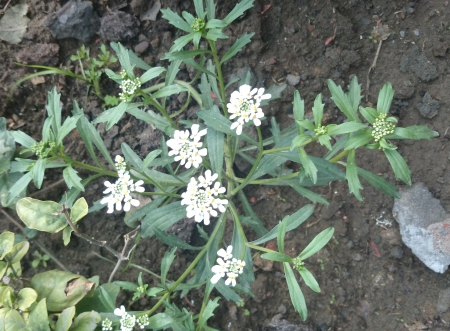toothed: Candytuft, Iberis amara, Brassicaceae, Garden ornamental herb with toothed leaves and white irregular flowers