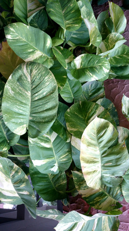 Devil s ivy, golden pothos, hunter s robe, ivy arum, Epipremnum aureum, Scindapsus aureus, very popular foliage plant often climbing on supports or tree trunks, popularly known as money plant in India
