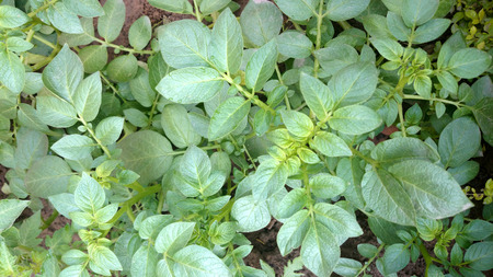 solanaceae: Potato plant, Solanum tuberosum, Solanaceae, cultivated herb with pinnate leaves and underground tubers used as vegetable