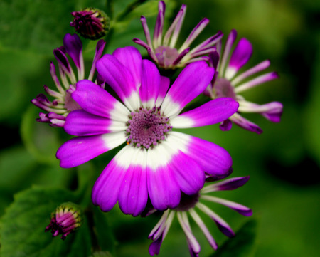 senecio: Cineraria, Florist s cineraria, Pericallis hybrida, Cineraria hybrida, Senecio hybridus, Ornamental herb with large nearly circular leaves and purple, blue, pink heads usually white in central