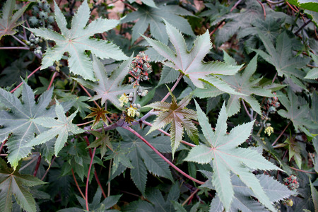 lobed: Castor plant, Ricinus communis, suffrutescent plant with large peltate 5-7 lobed leaves and unisexual flowers in terminal inflorescence  Seeds source of castor oil used in industry and medicine  Stock Photo
