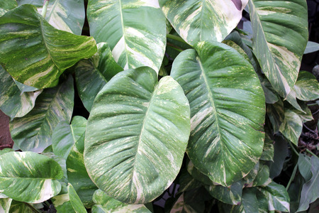 Devil s ivy, golden pothos, hunter s robe, ivy arum, Epipremnum aureum, Scindapsus aureus, very popular foliage plant often climbing on supports or tree trunks, popularly known as money plant in India  photo
