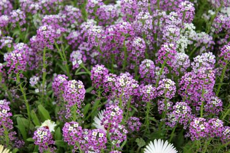 ロイヤル カーペット ニワナズナ、ニワナズナ属海洋センター、アリ maritimum、紫色の花が密なカーペット、アブラナ科しばしば形成する白と低成長
