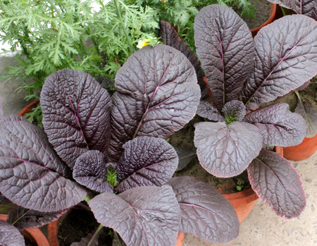 red giant mustard, Brassica integrifolia var  rugosa, ornamental herb with large spreading thick undivided purple leaves, grown as ornamental
