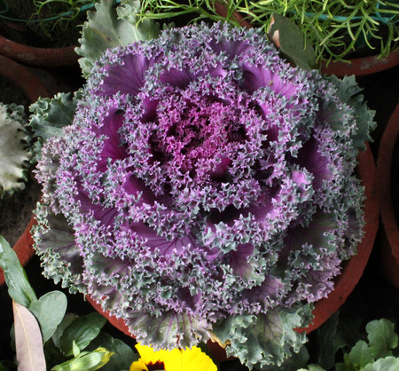 flowering kale: Ornamental kale, flowering kale, ornamental cabbage, flowering cabbage, Brassica oleracea var  sabellica, ornamental foliage plant with decorative often curly leaves in open heads  Grown in pots and edges in winter