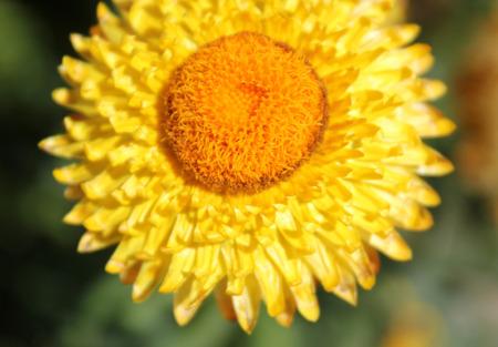Paper Daisy Golden Everlasting Paper Flower Straw Daisy