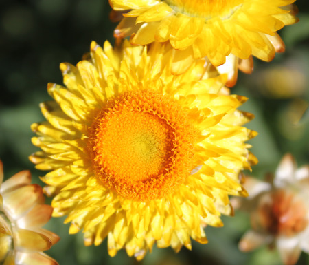 Paper daisy, golden everlasting, paper flower, straw daisy, Helichrysum bracteatum, Xerochrysum bracteatum, ornamental herb with paper-like mostly golden flower-heads, commonly used for longer lasting decorations   Stock Photo