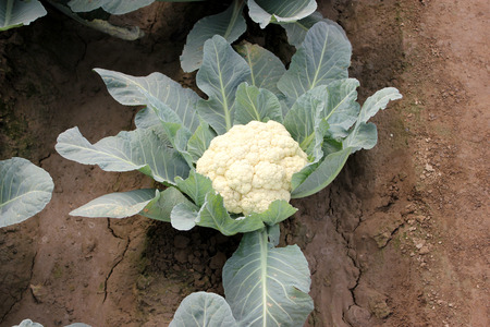 ec: Pusa snowball K-1, Brassica oleracea var  botrytis, developed in 2004, mass selection from  EC 12012, light green serrated leaves and long lasting compact white curd, tolerant to black rot