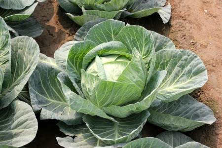 venation: Pusa Drum Head cabbage, Brassica oleracea var  capitata, larger plants light green outer leaves with prominent midribs and venation, Heads large, solid and flat weighing 3 to 4 kg, an early variety, Stock Photo