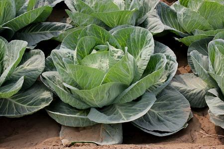 Pusa Drum Head cabbage, Brassica oleracea var  capitata, larger plants light green outer leaves with prominent midribs and venation, Heads large, solid and flat weighing 3 to 4 kg, an early variety, Stock Photo