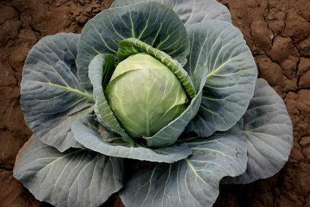 suitable: New hybrid cabbage-81, Brassica oleracea var  capitata, hybrid line with small head size, compact head , high field retention capacity, suitable for North India Stock Photo