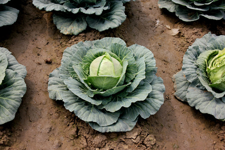 suitable: Pusa cabbage Hybrid 1, Brassica oleracea var  capitata, hybrid line with small head size, compact head , suitable for North India