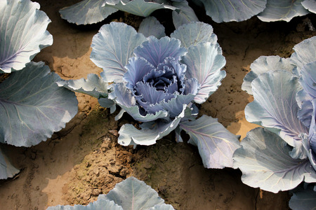erect: Red cabbage, kinner red, Brassica oleracea var capitata, cultivar red to purple heads rounded at top, oval at base, surrounded by erect slightly  purple tinged leaves, Brassicaceae
