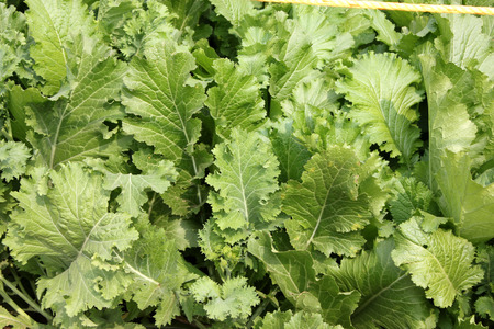 broad leaf: Pusa saag, Brassica rapa, vigorous and quick growing, suitable as leaf vegetable, late bolter, long petioled, broad large sized leaves, slightly blistered light green leaves, Brassicaceae