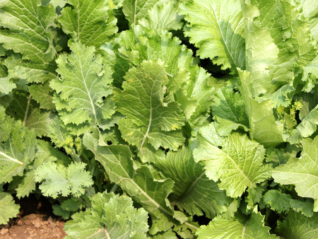 bolter: Pusa saag, Brassica rapa, vigorous and quick growing, suitable as leaf vegetable Stock Photo