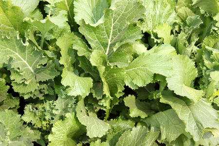 bolter: Pusa saag, Brassica rapa, vigorous and quick growing, suitable as leaf vegetable, late bolter, long petioled, broad large sized leaves, slightly blistered light green leaves, Brassicaceae