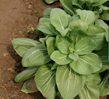 fleshy: Bok Choy, pakchoi, white cabbage, Brassica rapa subsp  chinensis, leaves with white fleshy stalk resembling celery without its stringiness but the leaves are dark green and crinky resembling romaine lettuce,  popular in Philippines often commonly used in