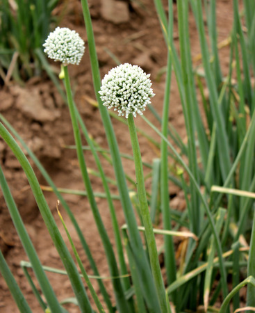 alliaceae: Onion, Allium cepa, Alliaceae, bulbous herb with linear hollow leaves and white flowers in an umbel on a scape, bulb used as salad, in cooking  Stock Photo