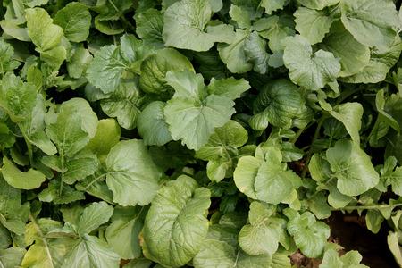 rapa: Turnip, Pusa Chandrima turnip, Brassica rapa, An early maturing variety shown in plains of India