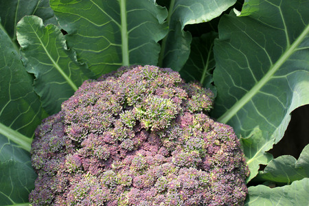 tinge: Palam vichitra broccoli, Brassica oleracea var  italica, heading broccoli, medium-sized, dark green leaves  stem with purple tinge, head purple and compact, rich in vitamins and minerals Stock Photo