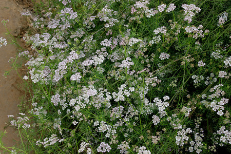 Coriander, Dhania, Chinese-parsley, cilantro, Coriandrum sativum, Apiaceae, annual cultivated herb with lower leaves with broader segments, upper with linear segments, pink irregular flowers, condiment, spices, garnishing     Stock Photo