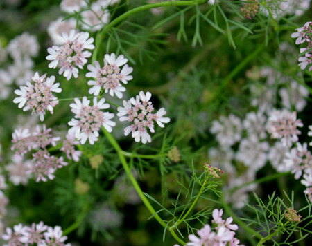 broader: Coriander, Dhania, Chinese-parsley, cilantro, Coriandrum sativum, Apiaceae, annual cultivated herb with lower leaves with broader segments, upper with linear segments, pink irregular flowers, condiment, spices, garnishing     Stock Photo