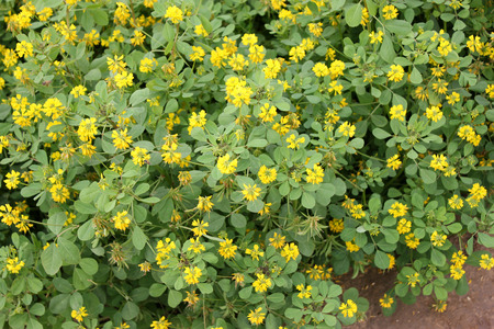 flavouring: Sickle-fruit fenugreek, Kasuri methi, cultivated herb with trifoliate toothed leaves, yellow flowers in terminal clusters and sickle-shaped fruits, dried leaves used in flavouring, garnishing and spice