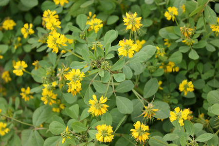 Sickle-fruit fenugreek, Kasuri methi, cultivated herb with trifoliate toothed leaves, yellow flowers in terminal clusters and sickle-shaped fruits, dried leaves used in flavouring, garnishing and spice