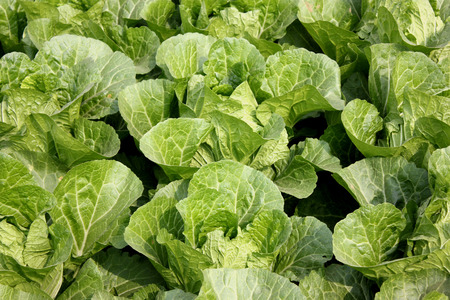 nappa: Nappa cabbage, Peking cabbage, Brassica rapa subsp  pekinensis, cabbage like but with lighter coloured thinner leaves and without thick stalk, used in stir-fries, milder flavour