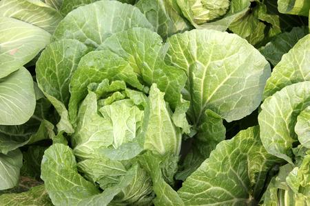 nappa: Nappa cabbage, Peking cabbage.