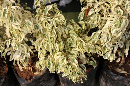 variegated: Duranta goldiana, small ornamental shrub with light golden variegated leaves, grown as hedge, Verbenaceae