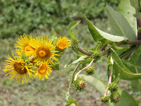 Indian elecampane , Inula racemosa Stock Photo