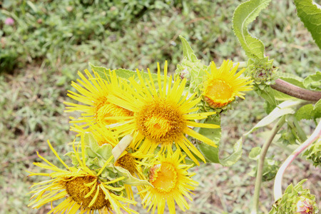 Indian elecampane , Inula racemosa photo