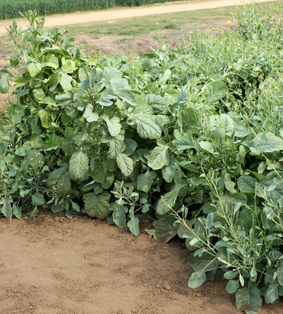 carinata: Pusa Aditya, Brassica carinata, a variety of mustard, developed for NCR, suitable for rainfed regions with poor land, immune to mildew, resistant to white rust, good yield