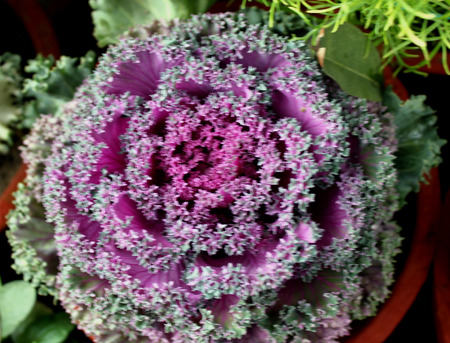 flowering kale: Ornamental kale