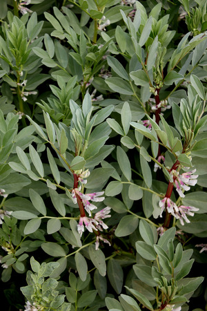 fabaceae:  Broad bean Pusa Udit, Fava bean Pusa Udit, Vicia faba, Fabaceae, cultivar developed by IARI for NCR in 2012, cultivated herb with 1-4 pairs of leaflets, white flowers with dark spot and flattish extra long light pods pods in clusters, higher yield, suita