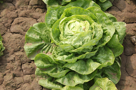 lactuca: Iceberg lettuce, Lactuca sativa var capitata, cultivar with head of tightly wrapped leaves, crisp, crunchy and succulent, suitable and sandwiches, Asteraceae