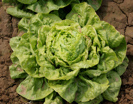 lactuca sativa: Iceberg lettuce, Lactuca sativa var capitata, cultivar with head of tightly wrapped leaves, crisp, crunchy and succulent, suitable and sandwiches, Asteraceae