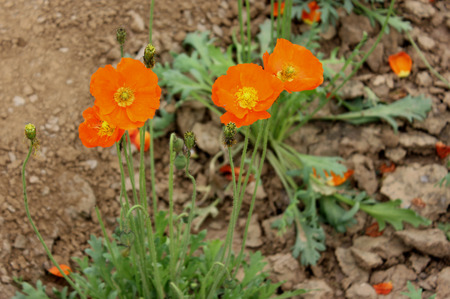 drooping:  Iceland poppy, Arctic poppy, ornamental herb with basal rosette of leaves, and white to orange flowers on a long drooping stalk, fruit capsule
