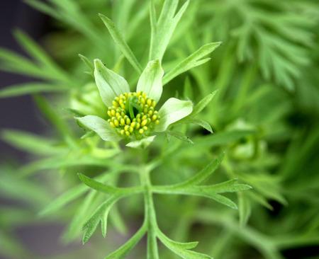 nigella seeds:  Black-caraway