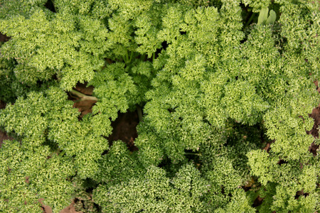 resembling: Moss curled parsley, Petroselinum crispum, Apiaceae, cultivar with deeply cut curled leaves resembling forest moss, having rapid growth, suitable for garnishing Stock Photo